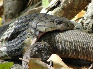 cobra-snake